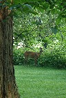 Deer on Lower Lawn
